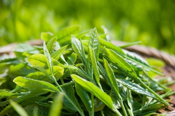 tinh-dầu-cây-trà