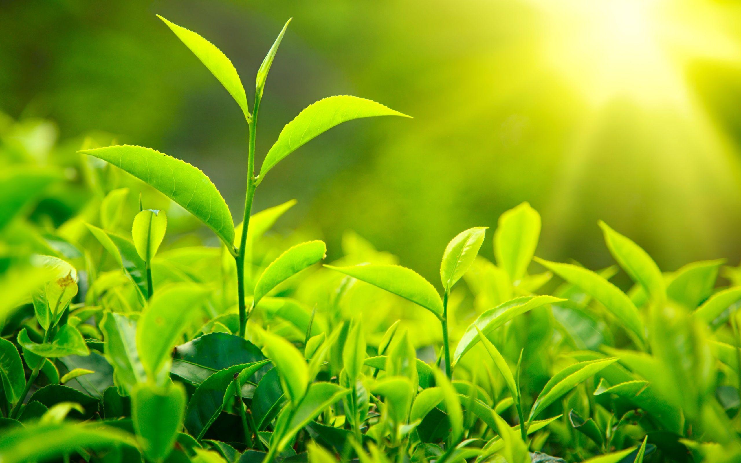 trị-da-dầu-với-lá-trà-xanh